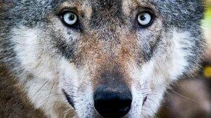 Toter Wolf an der A73 gefunden